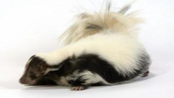 View of a skunk lying down