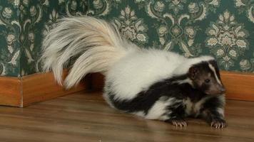 Skunk lying down in apartment