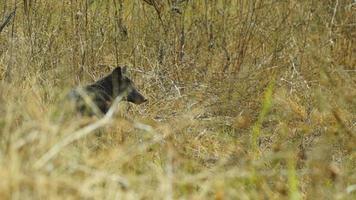Rare Black Coyote video
