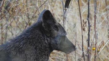 raro coyote nero