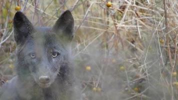rara ubicazione del coyote nero