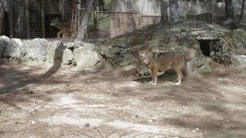 una manada de lobos en una granja cerca de la celda. video
