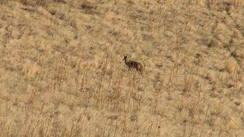 Coyote in the foothils video