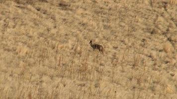 coyote ai piedi video