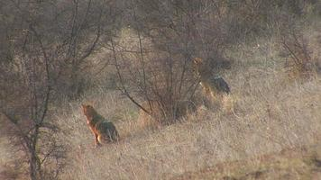 Hunting  Golden jackal finding and eating carcass in winter field