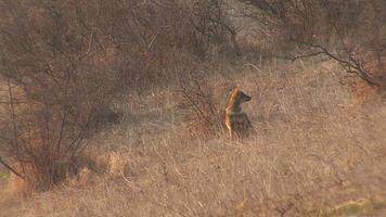 Chasser le chacal doré trouver et manger la carcasse dans le champ d'hiver