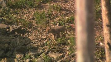 Coyote pups video
