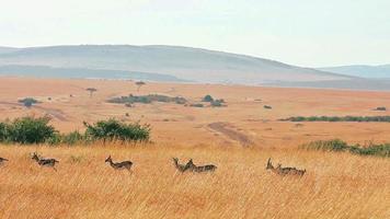 gazela de thomson video