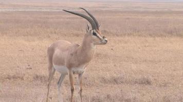 gazela na áfrica video