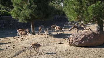 un branco di gazzelle, nutrendosi