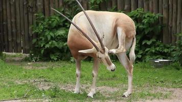 oryx (gazella oryx algazelle) video