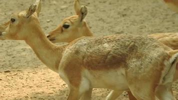 close up of a blackbuck antelope Antilope cervicapra video