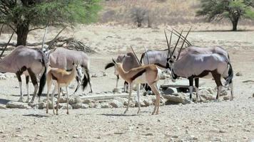branco di gemsbok, oryx gazella e springbok sulla pozza d'acqua
