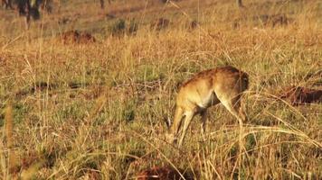 Impala Widder regungslos in Afrika