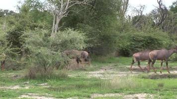 Wild Antelope in African Botswana savannah