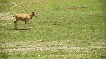 Cape Eland walking video
