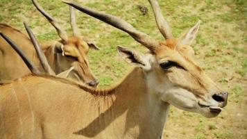 Cape Eland video
