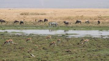 Wildlife in Amboseli marshland