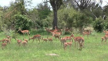 Wild Antelope in African Botswana savannah video
