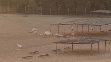 Oryx arabes dans un désert, dubaï