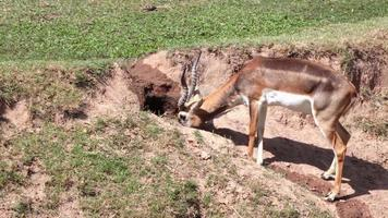 """Thomson's Gazelle """"Eudorcas thomsonii"""" eating grass in the hole video"""
