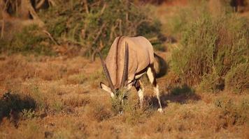 Gemsbok antelope grazing