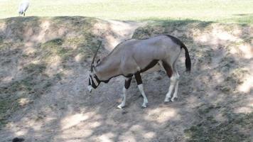 Gemsbok antelope (Oryx gazella) on green meadow HD