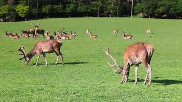 Herd of fallow deers video
