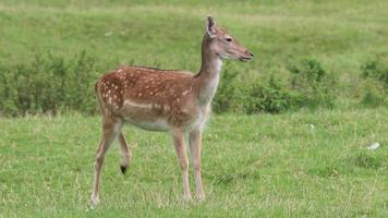 Deer standing and looking around video