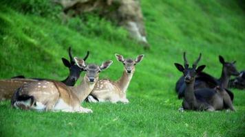 gruppo di cervi a riposo.