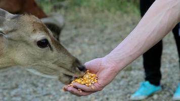 macro hd: nourrir les cerfs