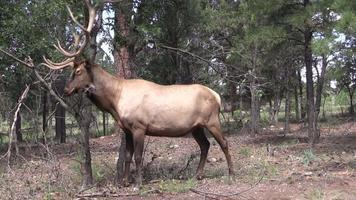 taureau élan frottant