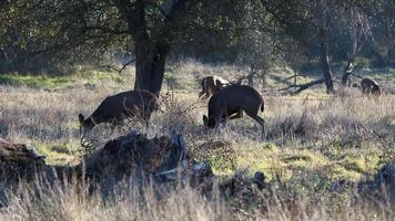 Small Group Of Deer Grazing Under Oak Trees video