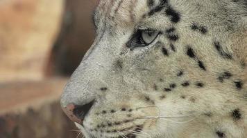 close-up puma no zoológico olhando video
