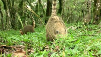 Candid shot of wild animals in natural jungle habitat. Small animals eating in the wild. Possums in the wild video