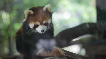 """panda roux, noms scientifiques """"ailurus fulgens"""" appelé petit panda, ours-chat roux, sur l'arbre, gros plan en hd"""