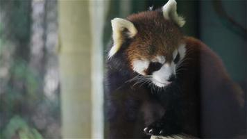 "Red panda, science names ""Ailurus fulgens"" called lesser panda, red bear-cat, on the tree, closeup in HD"