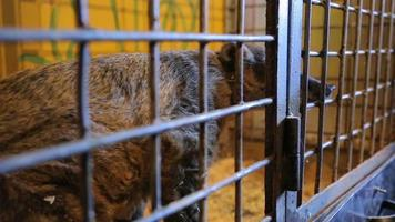 Animal shelter, raccoon, coati in a cage video