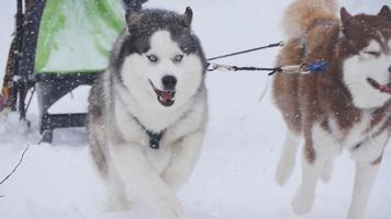 musher verstopt achter slee bij sledehondenrace in slow motion video