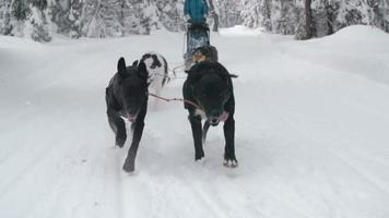 trenó de cães correndo pela floresta de neve