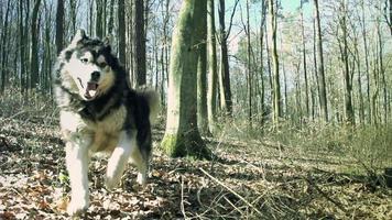 Hund läuft im Wald video