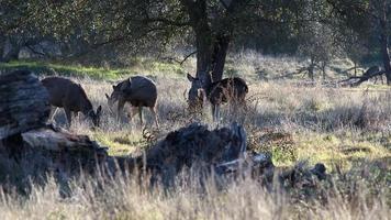 cervos se alimentando na grama sob os carvalhos sacramento california video