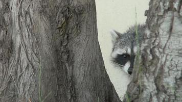 procione in mezzo agli alberi a video
