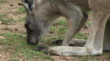 canguru comendo video
