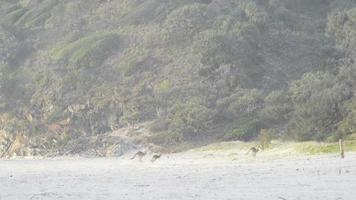 Kängurus hüpfen