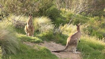 Kangaroo Wallaby - Australian Wildlife