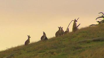 canguro - marsupial australiano nativo