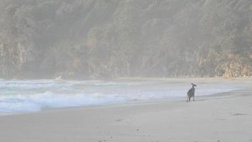 cangurus na praia video