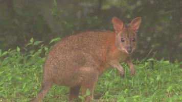 Känguru - gebürtiges australisches Beuteltier