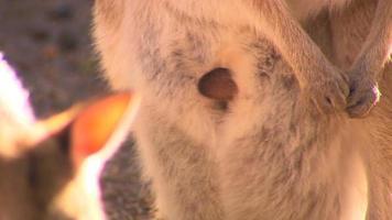 mignon bébé kangourou - Australie video